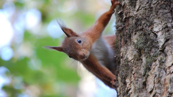 Red Squirrel at Colin Beacom