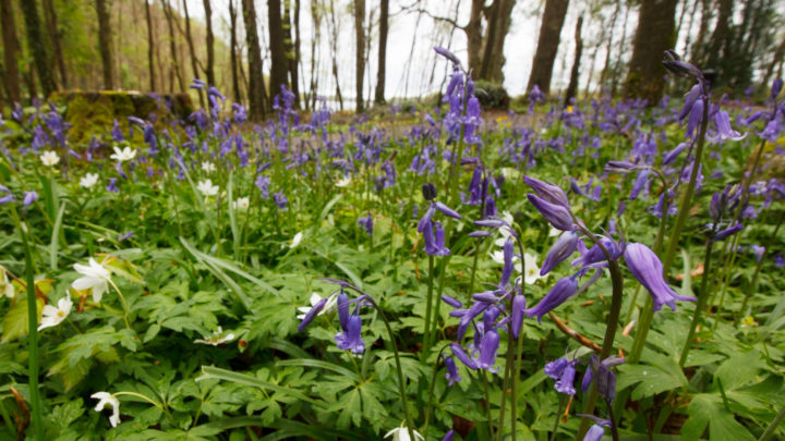 Ely Lodge Forest Bluebells